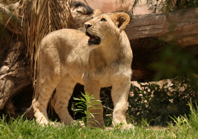 Download Lioness stock image. Image of tourist, lioness, growl - 30208651