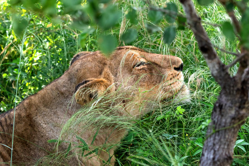 African lioness relaxed in the grassland. Kruger National Park, South Africa stock photos