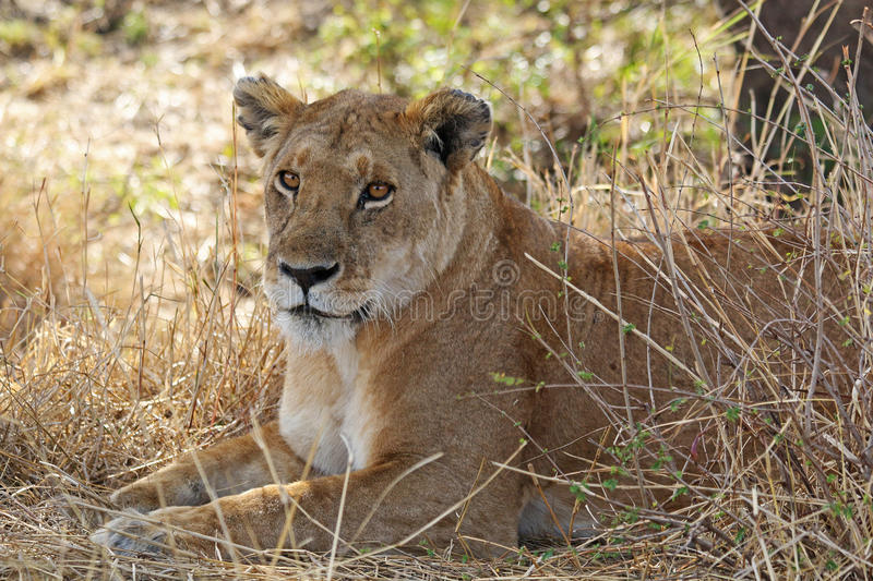 African Lioness Resting. An African lioness resting on the savannah near bushes stock image