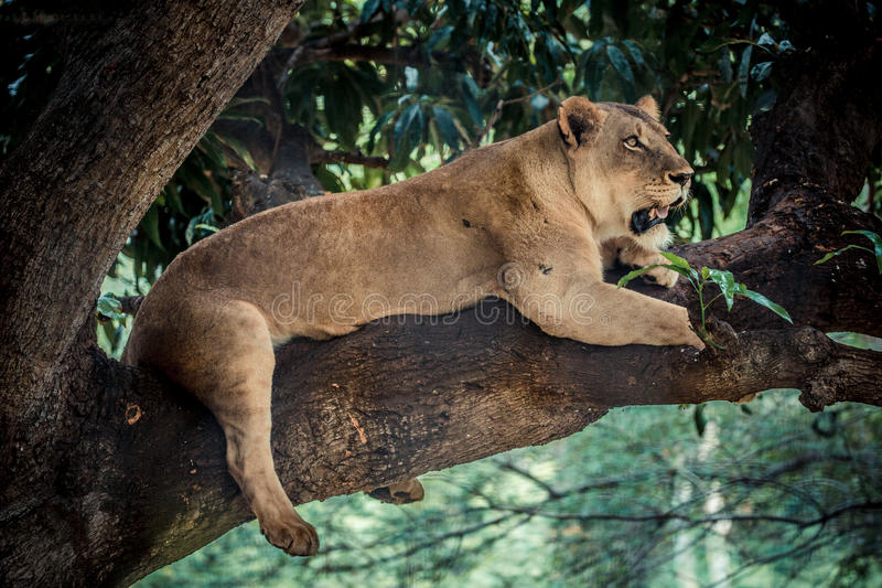African lioness resting in a tree. African lioness resting in a tree in the afternoon royalty free stock image