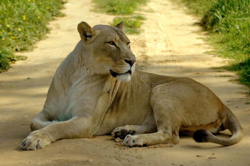 Download African lioness road block stock photo. Image of carnivore - 3269284