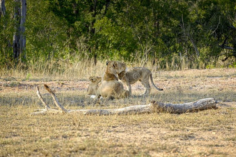 African lioness with two cubs in the wild. One African lioness with two cubs in the wild stock images
