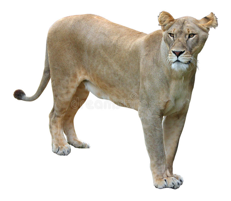 African lioness on white background. The various postures of the African lioness on white background stock photography