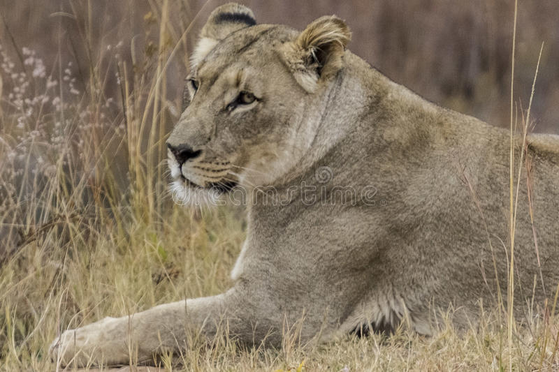 African lioness. Into the wilde in african savannah stock images
