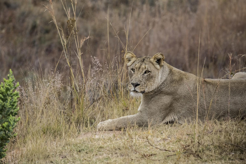 African lioness. Into the wilde in african savannah stock image
