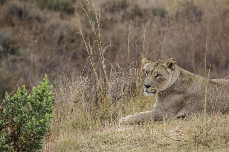 African lioness. Into the wilde in african savannah stock photography