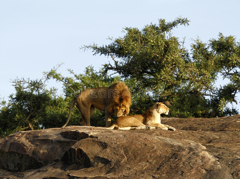 Download African Lions stock image. Image of mammalia, largest - 24684793