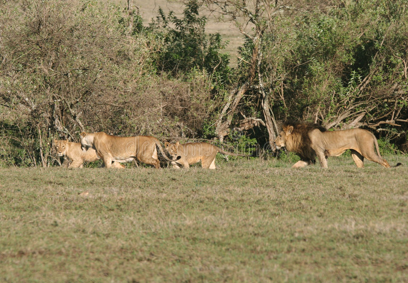 African lions stock photos