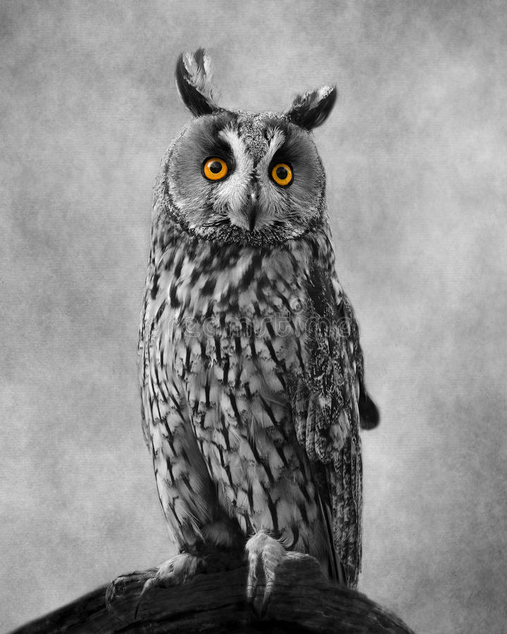 African Long Eared Owl With Textured Background. A portrait of this beautiful has been given background textures. I have left his eyes colours and isolated to royalty free stock images