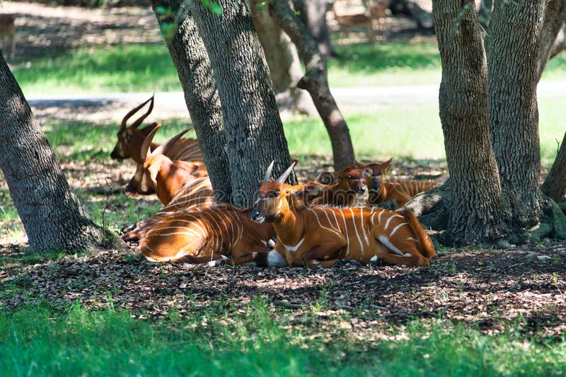 African lowland bongo resting in the shade royalty free stock photo