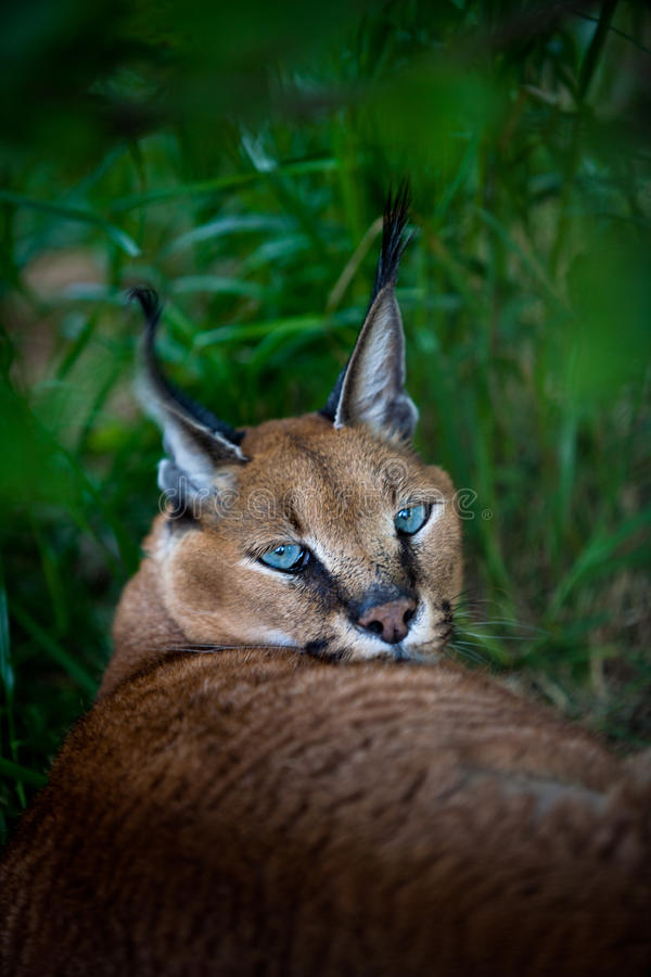 Download African lynx or caracal stock photo. Image of pointed - 26089898