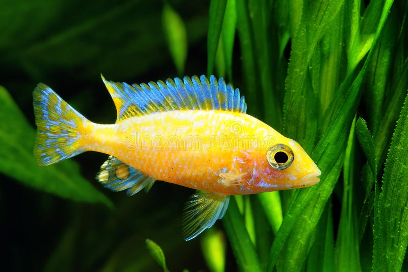African Malawi Cichlid royalty free stock photos