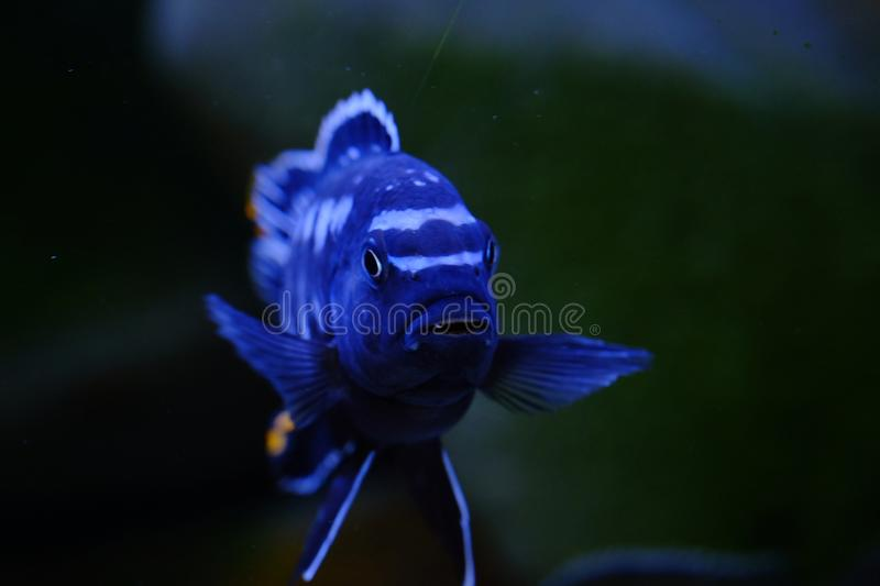 African Malawi cichlid aquarium fish freshwater royalty free stock photos