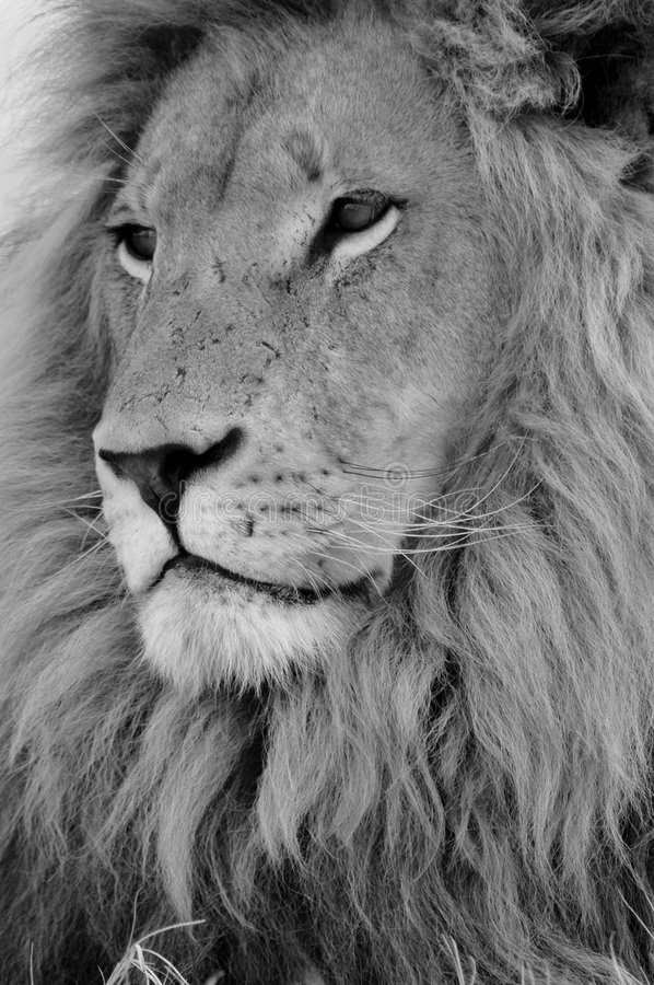 African Male Lion. A black and white image of an male African Lion royalty free stock image