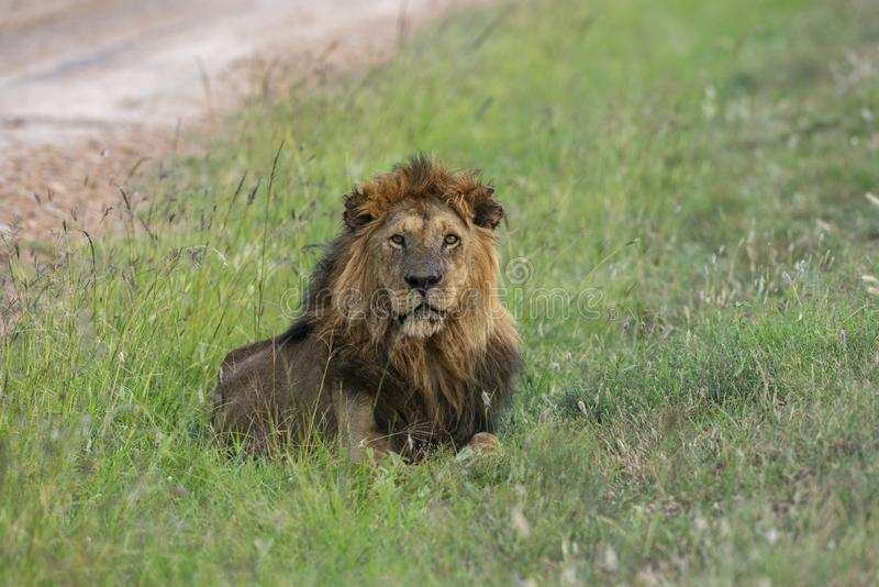 African Male Lion in the Evening Light at Masai Mara. Kenya Africa royalty free stock image