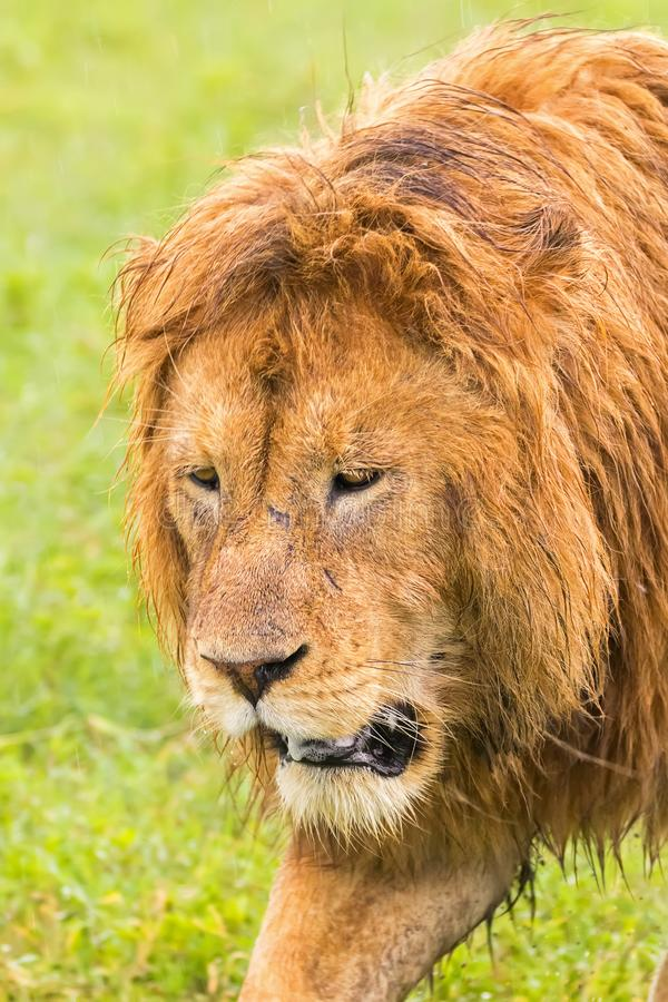 African male lion walking at Ngorongoro Crater in the rain with wet shaggy mane fur, Tanzania royalty free stock image