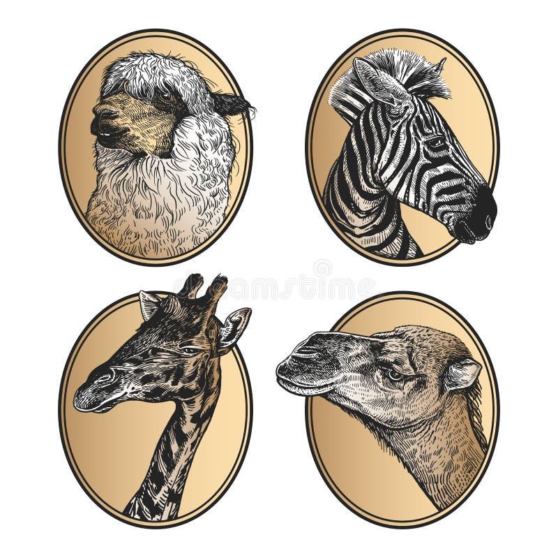 African mammals zebra, giraffe, llama, camel head close-up. Portraits of animals in frame set vector illustration