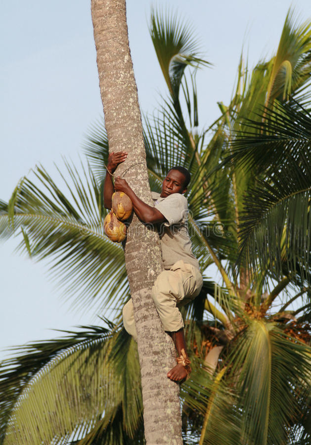 Download African Man Down From Palm Trees With Coconut In Hands. Editorial Stock Photo - Image: 37581983
