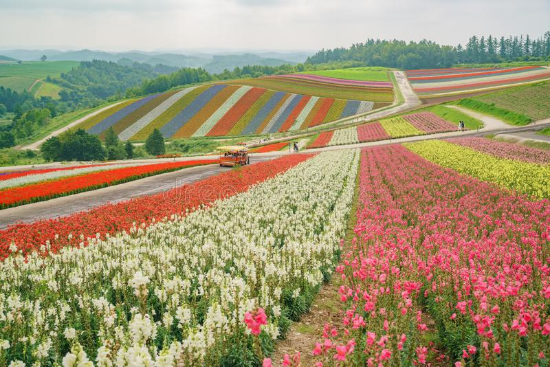 African Marigold, Salvia splendens blossom in rainbow lines in the famous and beautiful Panoramic Flower Gardens Shikisai-no-oka stock photography