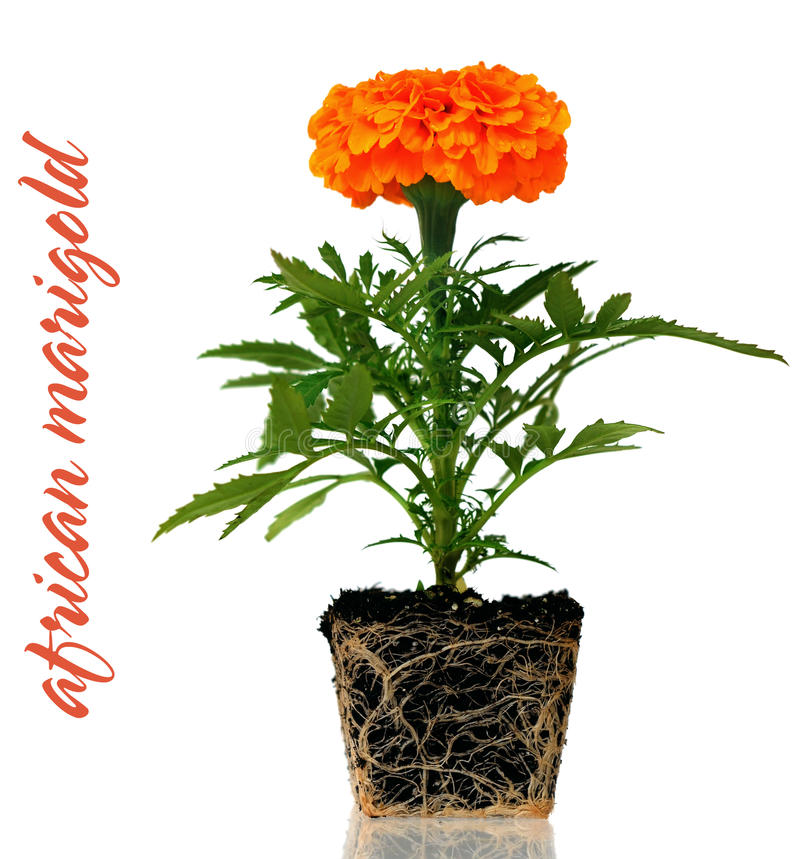 African Marigold (Tagetes Erecta) Flower Stock Image ... Marigold Plant With Roots