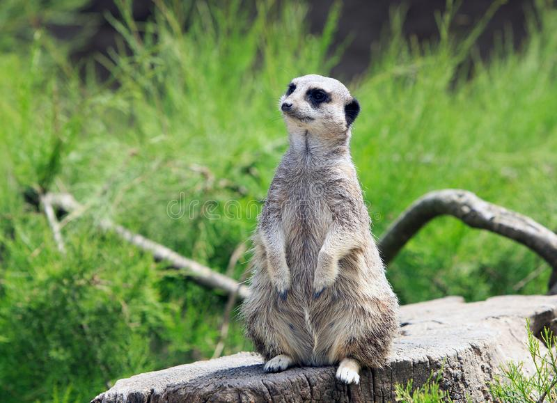 African meerkat looking for predators against a lush green grass background. Isolated Meerkat Suricata suricatta standing on a wooden tree trunk keeping watch stock images