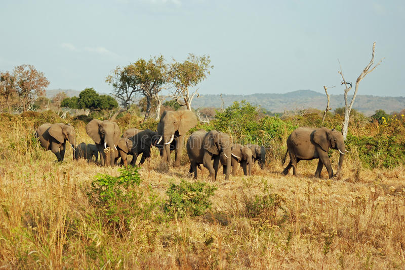African miombo woodland with group elephants. African miombo woodland - landscape - with large group African elephants also known as savanna elephants ( stock photos