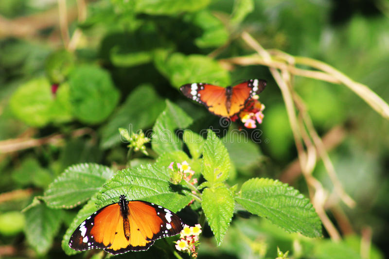 African Monarch butterflies in the stock photo