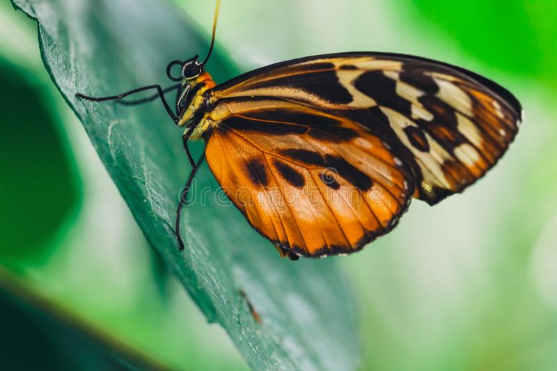 An African Monarch butterfly perched on green leaf. With a smooth green background stock image