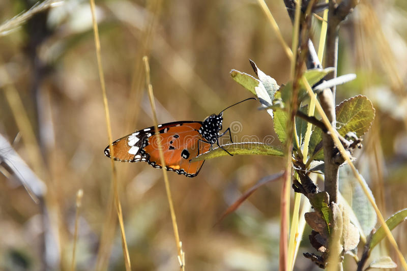 African monarch butterfly royalty free stock photo