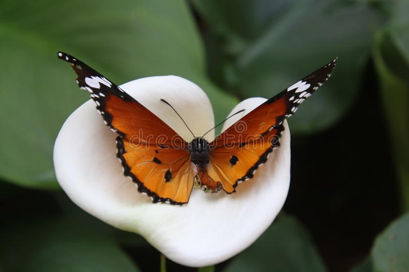 African Monarch Butterfly on White Calla Lily Flower royalty free stock images