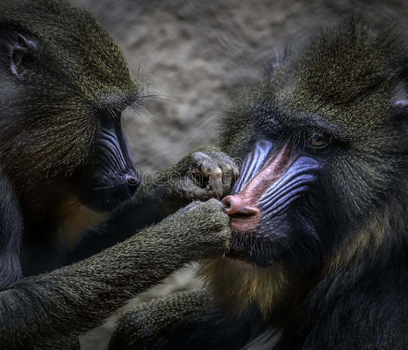 Mandrills grooming. African monkey detail posing on dark background royalty free stock photo
