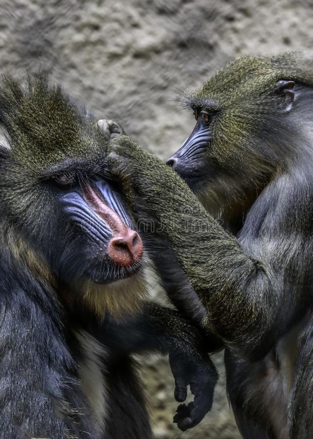 Mandrills grooming. African monkey detail posing on dark background stock photos