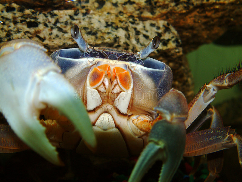 African Moon Crab Stock Images