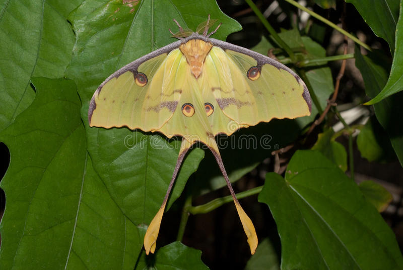 African Moon Moth (Argema mimosae) royalty free stock photography