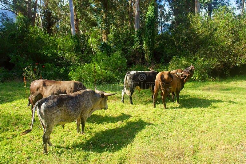 African Nguni bulls walk away royalty free stock photos