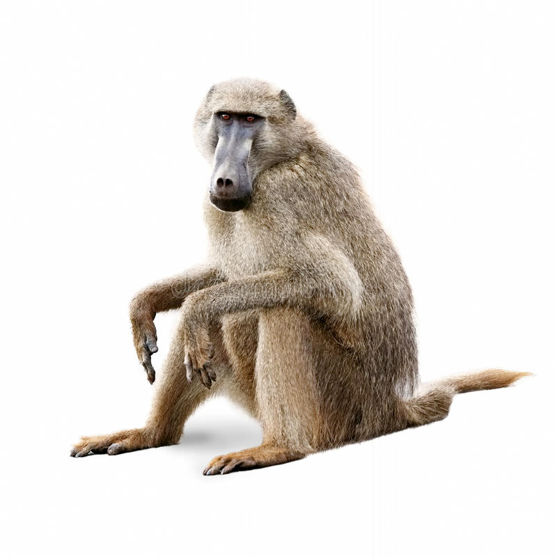 African Olive Baboon - Isolated on White. African baboon sitting down and looking forward. Isolated on white stock photography
