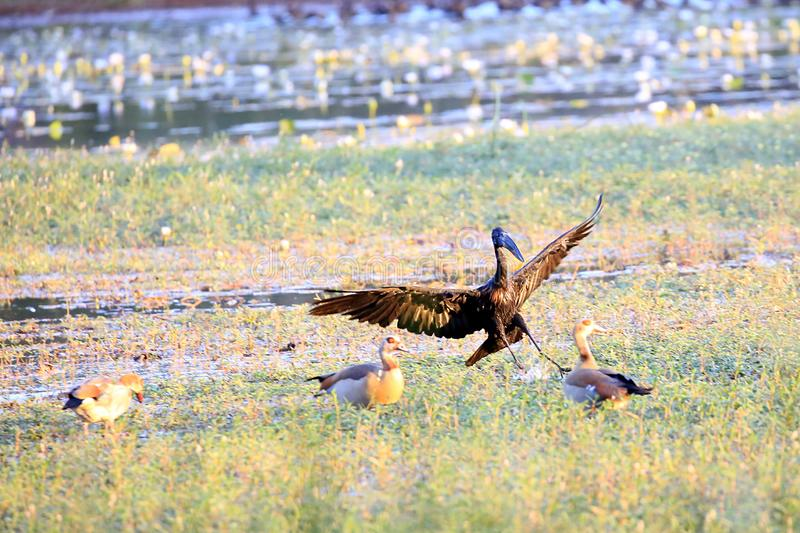 African openbill and Egyptian goose stock image
