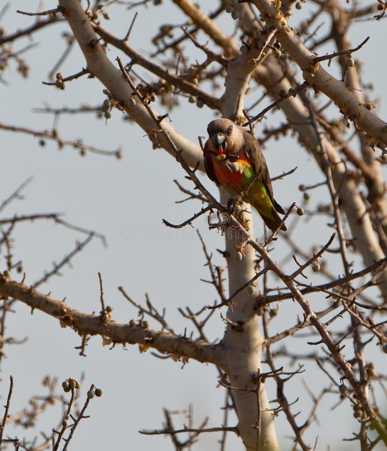 Download African Orange-bellied Parrot Eating Fruits Stock Image - Image: 23971063