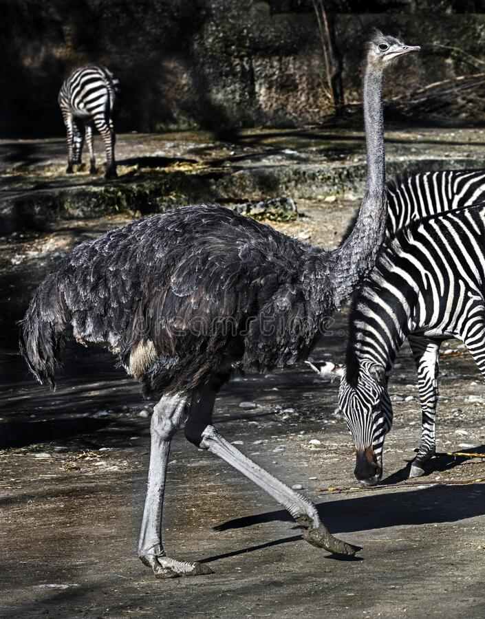 African ostrich 18 royalty free stock photography