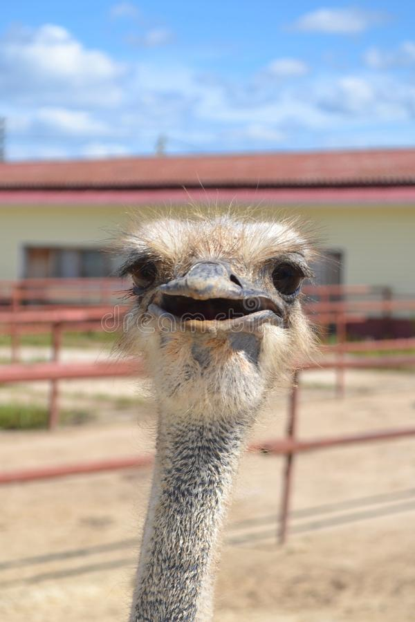 African ostrich royalty free stock photography
