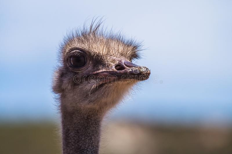African ostrich portrait in the morning royalty free stock photography