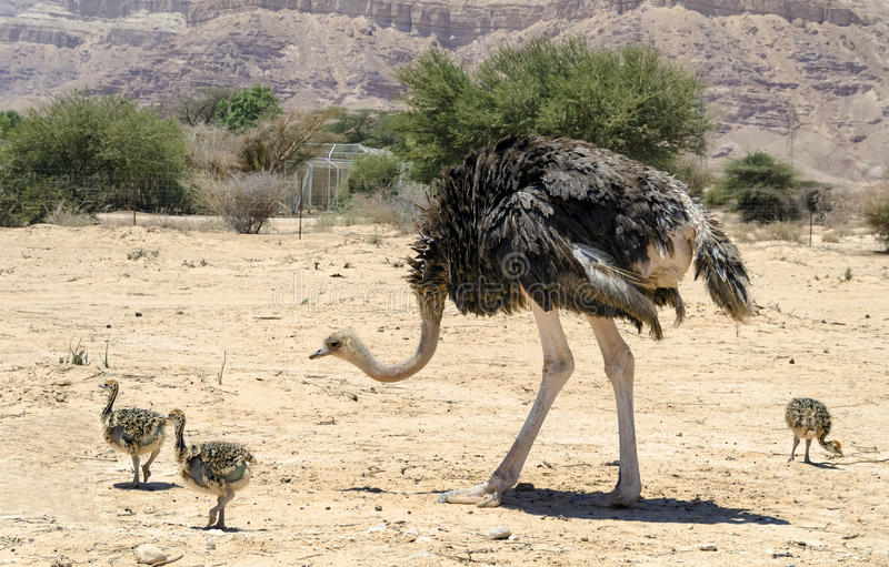 African ostrich Struthio camelus royalty free stock image