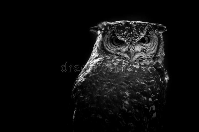 African owl black and white image royalty free stock images