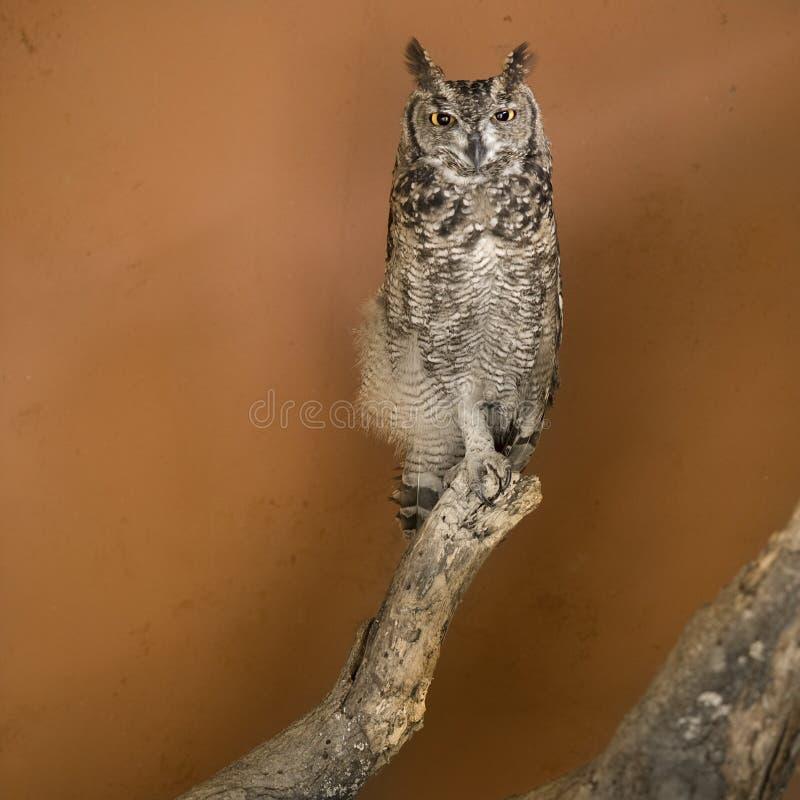 african owl zoo στοκ φωτογραφία με δικαίωμα ελεύθερης χρήσης