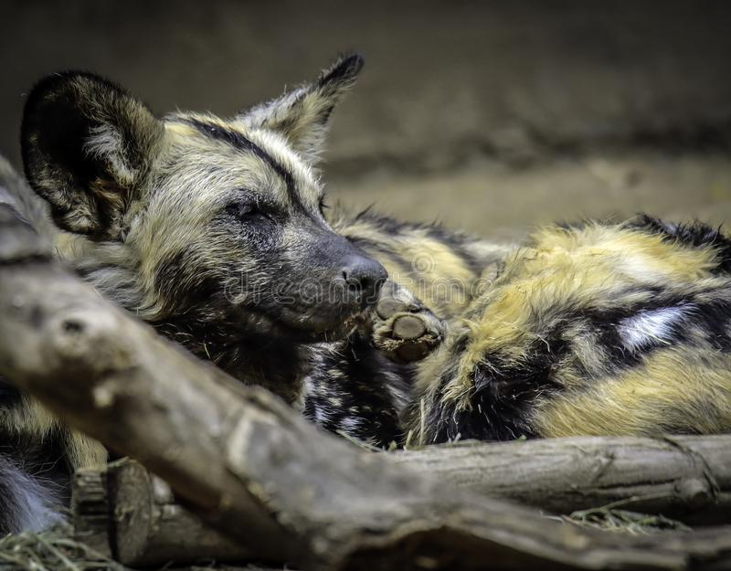 African Painted Dog. Close up details of wild dog of Africa royalty free stock image