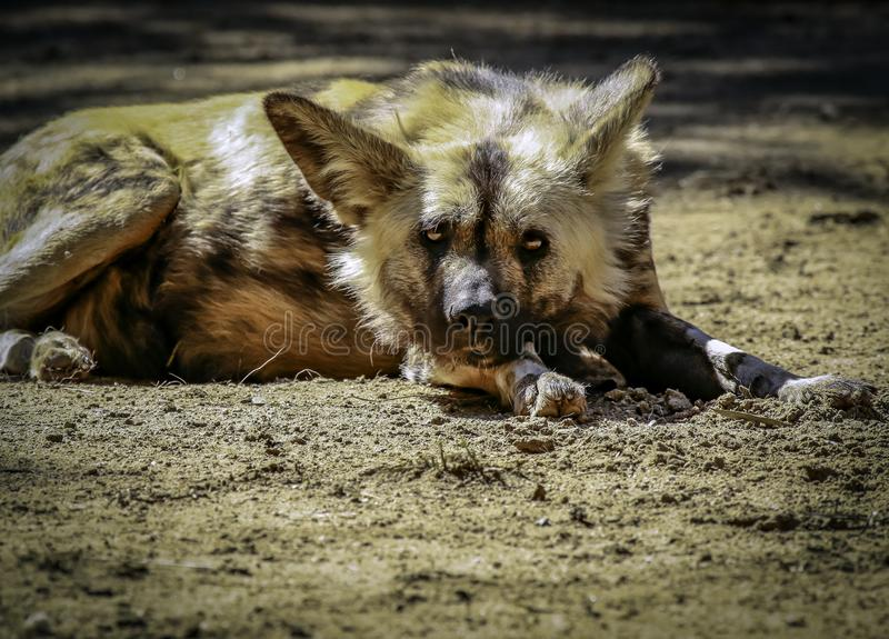 African Painted Dog. Close up details of wild dog of Africa royalty free stock images