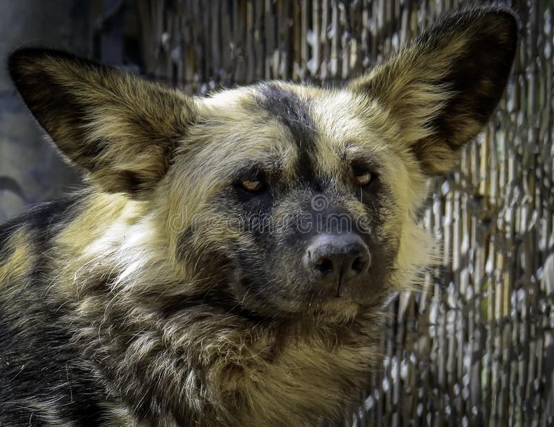 African Painted Dog. Close up details of wild dog of Africa stock photography
