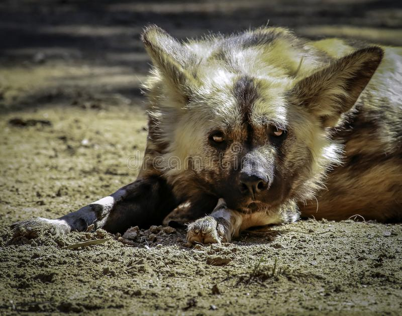 African Painted Dog. Close up details of wild dog of Africa royalty free stock photo