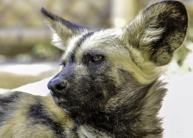 African Painted Dog. Close up details of wild dog of Africa stock photo