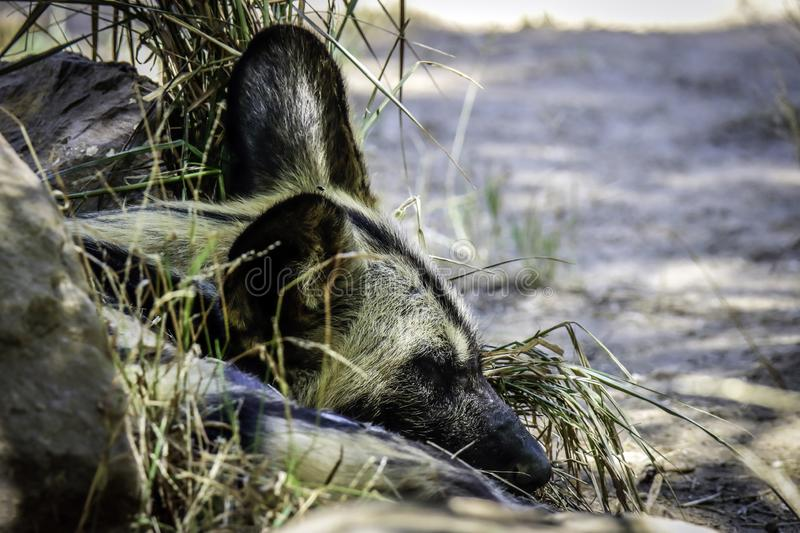 African Painted Dog Sleeping. Close up details of wild dog of Africa stock photo